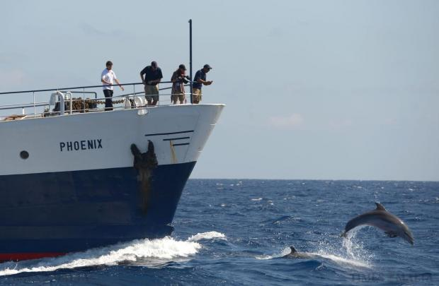 A pod of dolphins jump in front of the MOAS boat, the Phoenix, as it sails south off Malta on August 25. Photo: Matthew Mirabelli