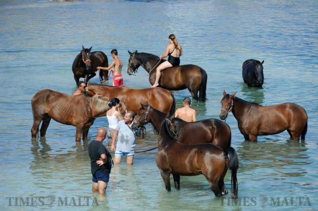 A group of horses take a fresh bath at Bahar ic-Cahaq on September 18. Photo: Steve Zammit Lupi