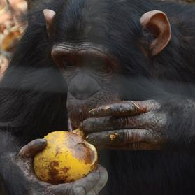 A chimpanzee peeling a fruit. Photos: University of Portsmouth/PA Wire