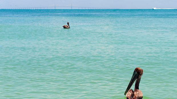 Two brown pelicans take a swim after being released at the Egmont Key National Wildlife Refuge near St Petersburg, Florida. Photo: US Coast Guard/Nick Ameen/Reuters