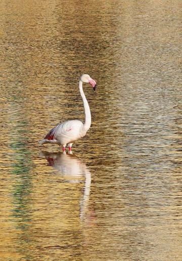 The greater flamingo. Photo: Aron Tanti, Birdlife