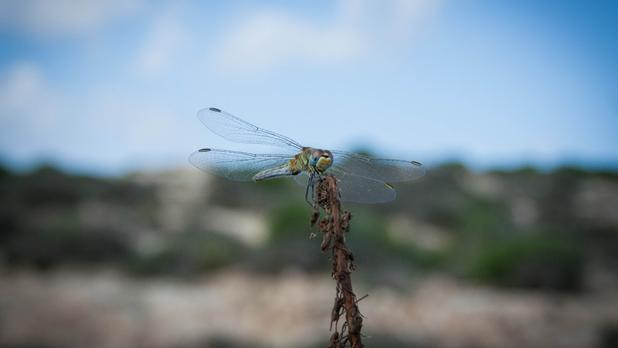 A dragon fly at Majjistral Park. Photo: Shirley Calleja