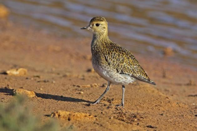 Golden plover bag limit reached, autumn trapping season closed