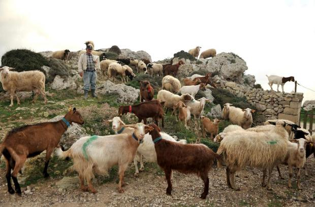 Shepherd Guzi Muscat tends his herd at Dingli Cliffs on January 7. Photo: Chris Sant Fournier