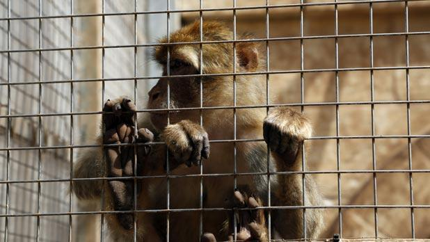 No monkey business: big cats at the illegal zoo hurt two young children in the space of five months. Photo: Darrin Zammit Lupi