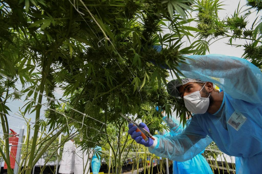 A worker harvest cannabis at a manufacturer in Montevideo, Uruguay. Photo: AFP