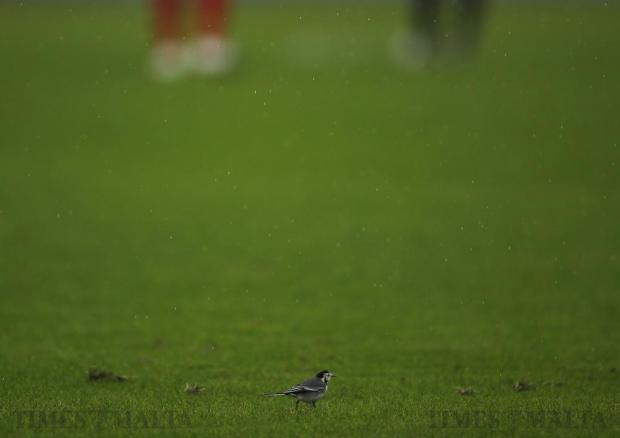 A white wagtail hops along the grass of the pitch during the Premier League football match between Balzan and Hibernians at the National Stadium in Ta' Qali on December 17. Photo: Darrin Zammit Lupi
