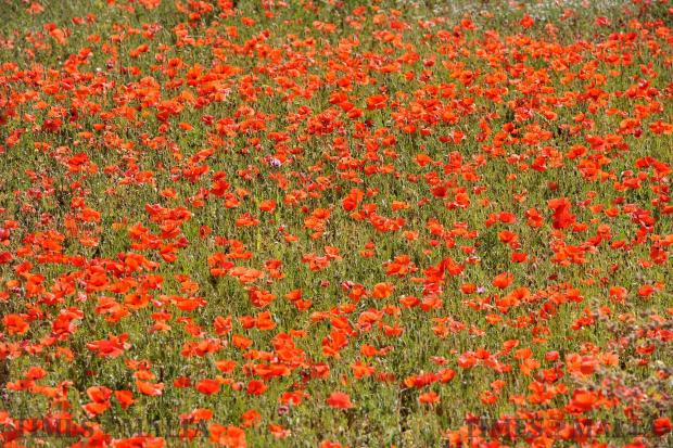 A field of poppies in Msida on May 10. Photo: Chris Sant Fournier