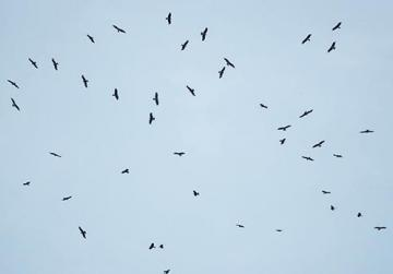A rare flock of black kites give an aerial display over Buskett. Photo: Matthew Scerri
