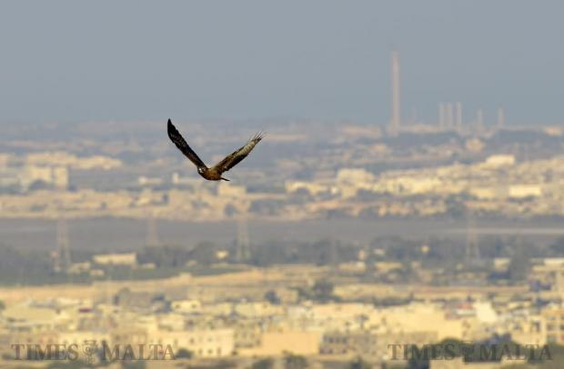 A juvenile honey buzzard flies low over Buskett with the Delimara Power Station seen in the background on September 13. Photo: Mark Zammit Cordina