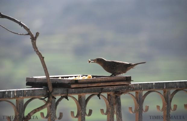 A Female blue rock thrush (merill, in Maltese) the national bird of Malta enjoys a light snack out of a bird feeder in Xewkija on January 21. Photo: Mark Zammit Cordina