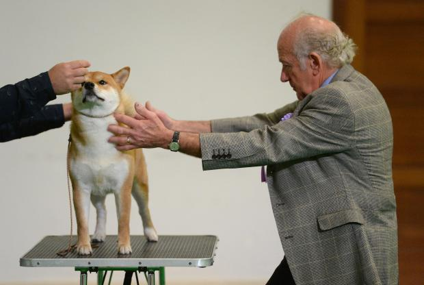 A judge inspects one of the dogs during a dog show at St Benedict's College in Kirkop on April 8. Photo: Matthew Mirabelli