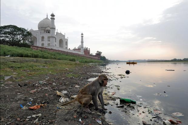 A monkey looks for eatables on the polluted banks of the Yamuna river next to the historic Taj Mahal in Agra.
