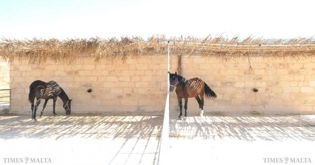 Horses take shelter from the sun at the Family Park in Marsascala on August 25. Photo: Chris Sant Fournier