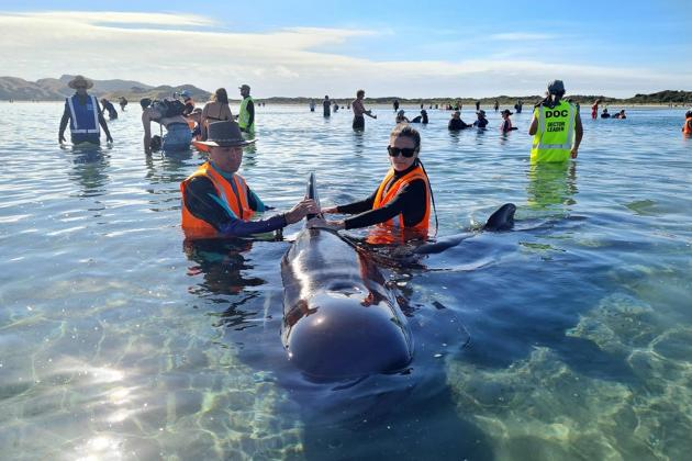 Stranded whales refloated in New Zealand but concerns remain