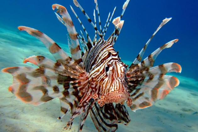 Reported Lionfish in Maltese waters has marine expert alarmed