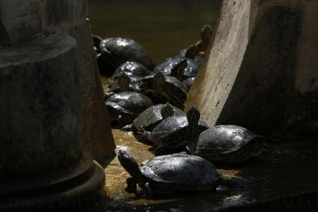 Red-eared terrapins bask in the sun in a fountain at San Anton Gardens in Attard on April 9. Photo: Darrin Zammit Lupi