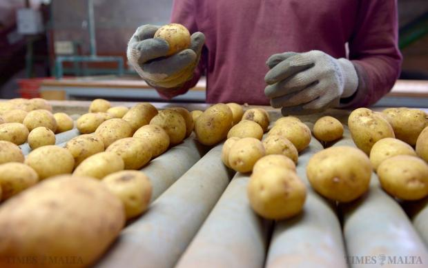 A worker checks a potato as it passes along the conveyor at the potato grading facility in Ta'Qali on April 24. Photo: Matthew Mirabelli