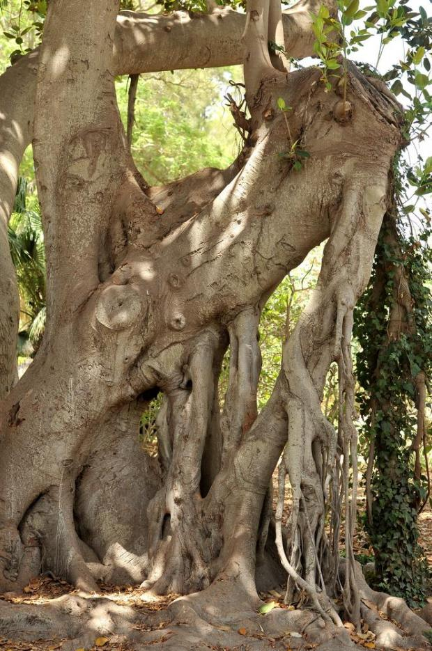A part of the bark of a Ficus Macrophylla at San Anton Gardens on July 6. Photo: Chris Sant Fournier