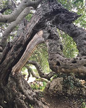 Malta's oldest carob, which is over 1,000 years old, can be found in Xemxija.