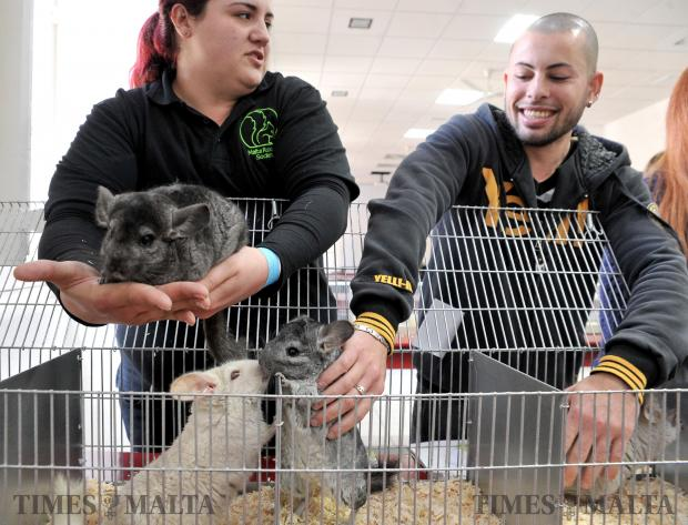 Owners handle their chincillas at the first rodent show organised by the Malta Rodents Society at the St Joseph Home in Santa Venera on February 19. Photo: Chris Sant Fournier