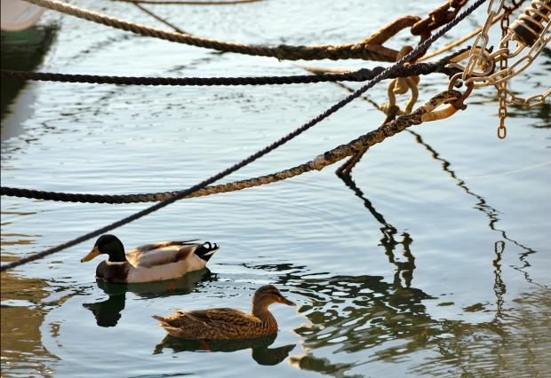 Two ducks float under the ropes that tie yachts to the quay at the Ta'Xbiex marina on January 31. Photo: Chris Sant Fournier