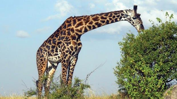 What noise does a giraffe make?