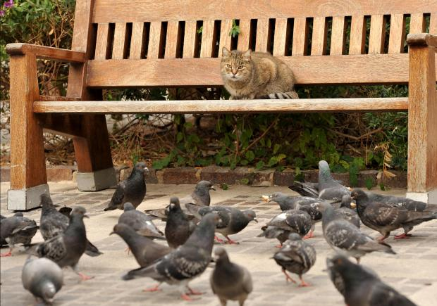 A cat relaxes on a bench while pigeons clear up bread scraps from the ground at the Upper Barrakka Garden on January 15. Photo: Chris Sant Fournier