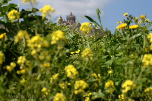 Flowers begin to blossom beneath Mdina on February 17. Photo: Matthew Mirabelli