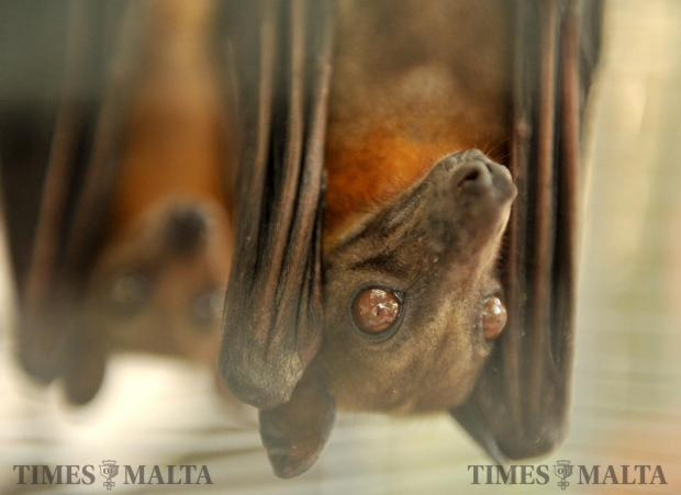 African fruit bats hang in their cage at an animal show in San Anton on May 14. Photo: Chris Sant Fournier
