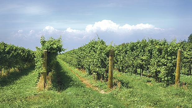 A vineyard in Niagara-on-the-Lake. Photo: Shutterstock.com