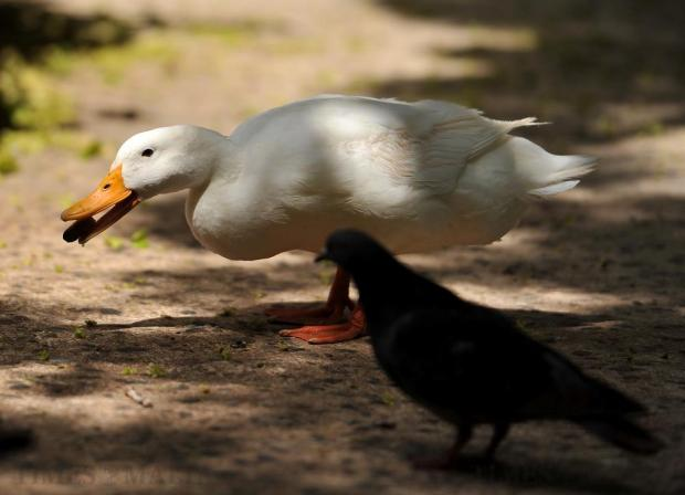 A duck holds something in its beak at San Anton Gardens on July 6. Photo: Chris Sant Fournier