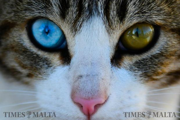 A cat, roaming the streets of Baħar iċ-Ċagħaq on November 15, may be odd-eyed but certainly not camera shy. Odd-eyed cats are affected by a condition whereby one of the eyes is blue and the other either green. Photo: Jonathan Borg