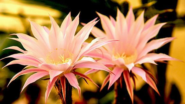Cactus flower. Photo: Adrian Farrugia