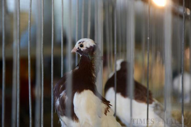 A fancy pigeon sits in its cage during the animal exhibitions at the L-Imnarja feats celebrated in Buskett on June 29. Photo: Steve Zammit Lupi