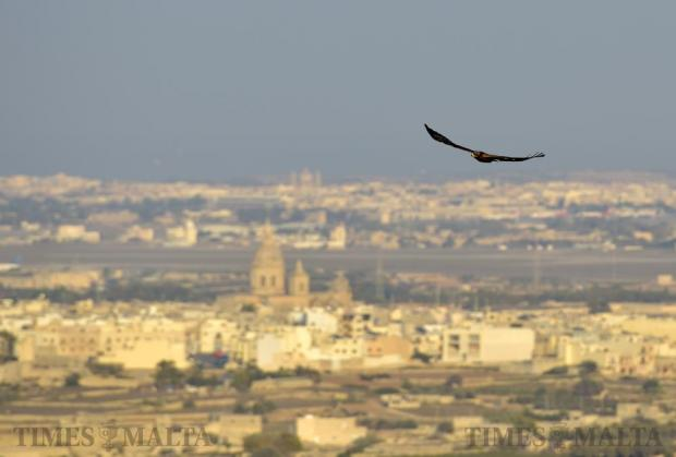 A juvenile honey buzzard flies low over Buskett on September 13. Photo: Mark Zammit Cordina