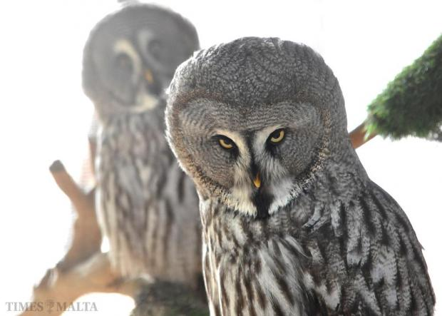 A pair of Great Grey Owls is seen at the Salina Bird Park on October 27. Photo: Chris Sant Fournier