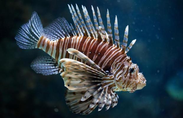 The lionfish's venom can be lethal. Photo: Shutterstock