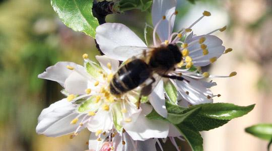 Pollinators, such as this honey bee visiting an almond tree in flower, are indispensable for life on earth, yet climate change may wreak havoc with nature's pollination clock. Photo: Alfred E. Baldacchino