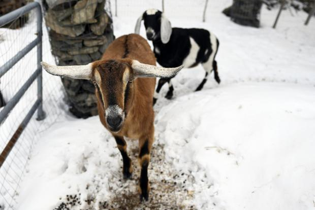 This photograph shows Lincoln, a Nubian goat, running around with pasture mate Lucy at their home in Fair Haven, Vermont.