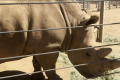 Zoo manages to get southern white rhino pregnant through insemination