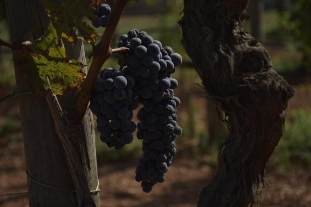 Grapes are seen at the Marsovin vineyard in Marsaxlokk on August 31. Photo: Mark Zammit Cordina