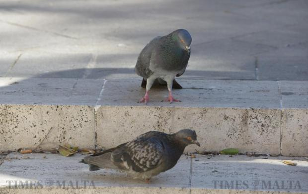 With a pigeon culling being planned for Valletta, two pigeons enjoy their afternoon outside the law courts in Valletta on February 19. Photo: Matthew Mirabelli
