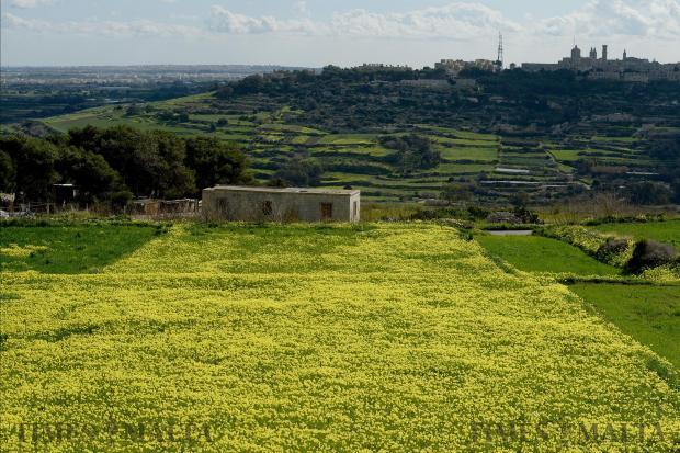 Yellow flowers bloom in a field in Dwejra on January 22. Photo: Matthew Mirabelli