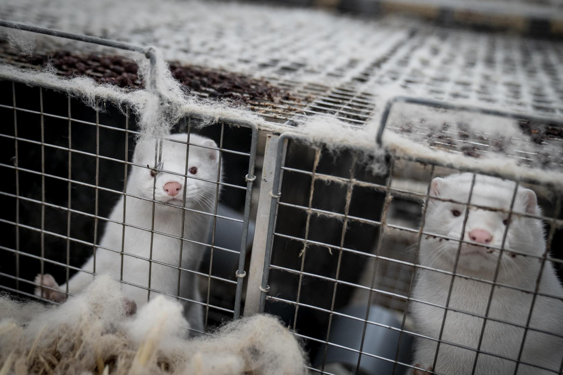 This file photo taken on November 6, 2020 shows mink looking out from their cage. Photo: RITZAU SCANPIX/AFP