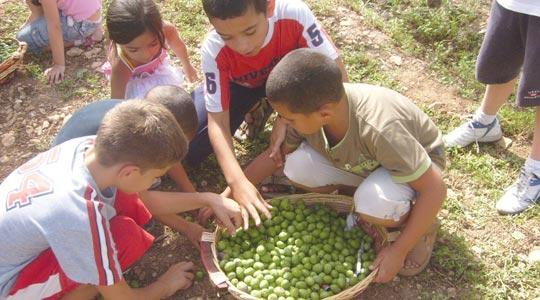 Children picking olives for this weekend's celebration in Żejtun.