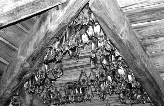 Image result for bats hanging from rafters