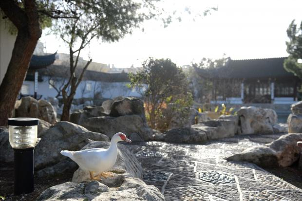 A duck enjoys the afternoon warmth at the Chinese Gardens in St Lucia on January 8. Photo: Matthew Mirabelli