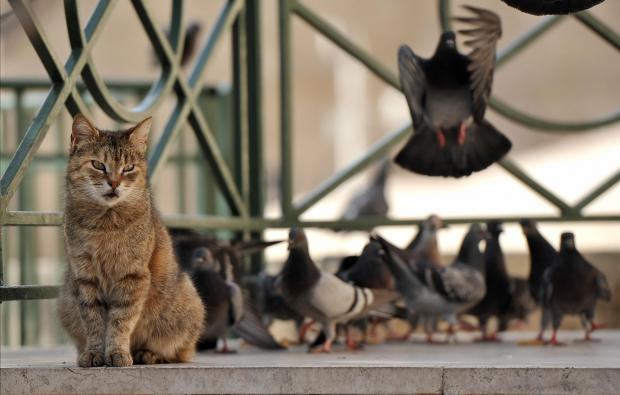 A cat ignores pigeons behind it as it stares at something that has caught it's eye at the Upper Barrakka Gardens on March 13. Photo: Chris Sant Fournier