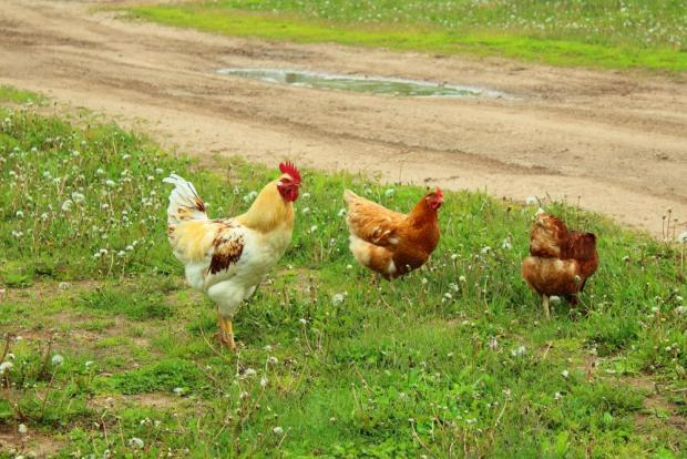The free-range, organic farm where the incident took place has a chicken coop that is open all day. Photo: Shutterstock